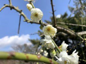 広田梅林の梅