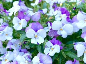 ヴィオラの花