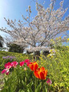 太山寺の近くの桜など
